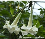 An elegant brugmansia seedling earns keeper status