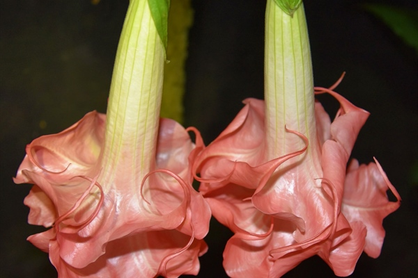 Introducing Brugmansia 'Audrey Lea'