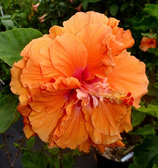 hibiscusliberatedlady.jpg.jpg